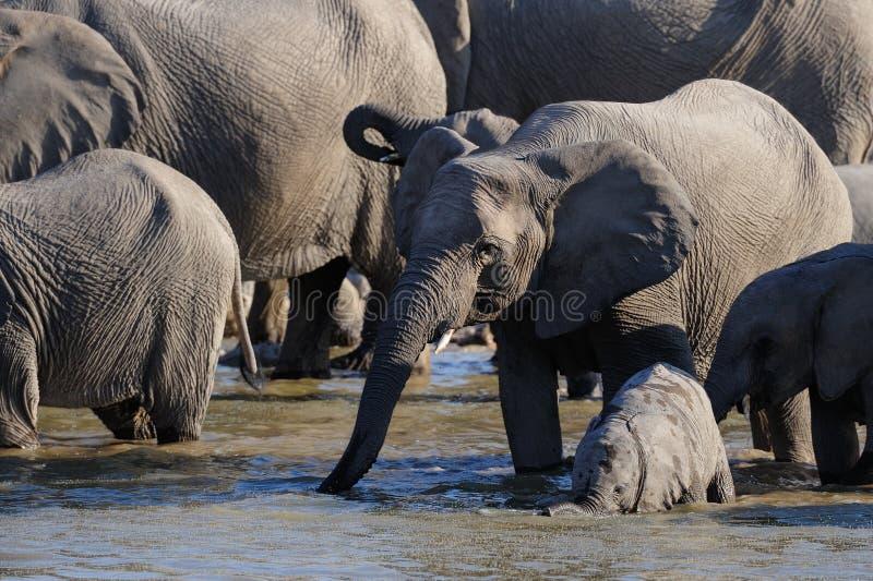 Herde des afrikanischen Elefanten mit Kalb am waterhole, etosha nationalpark, Namibia lizenzfreie stockbilder