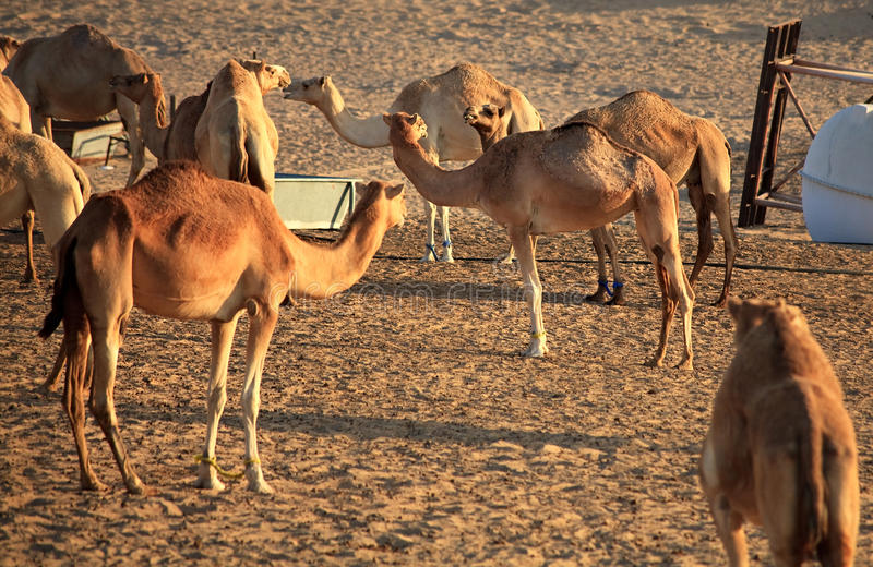 Herde des arabischen Kamels stockbild