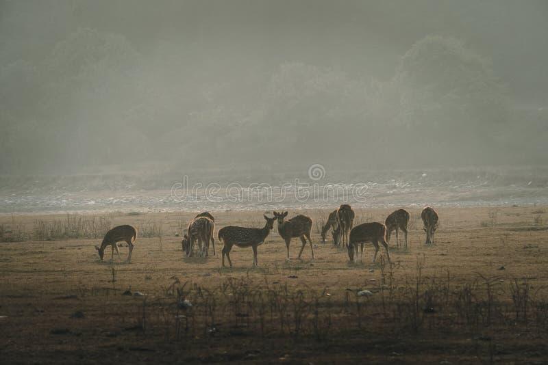 Herde des Rotwilds auf dem nebelhaften Feld morgens stockbild