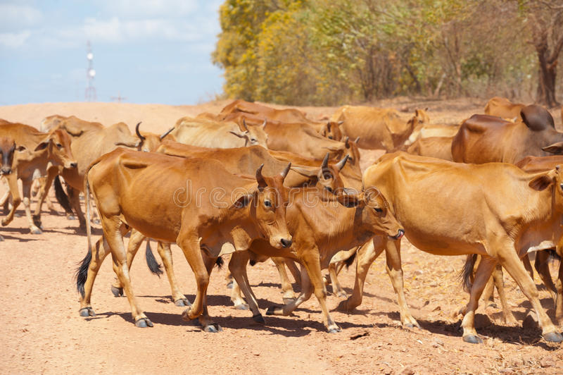 Herde des Viehs lizenzfreies stockbild