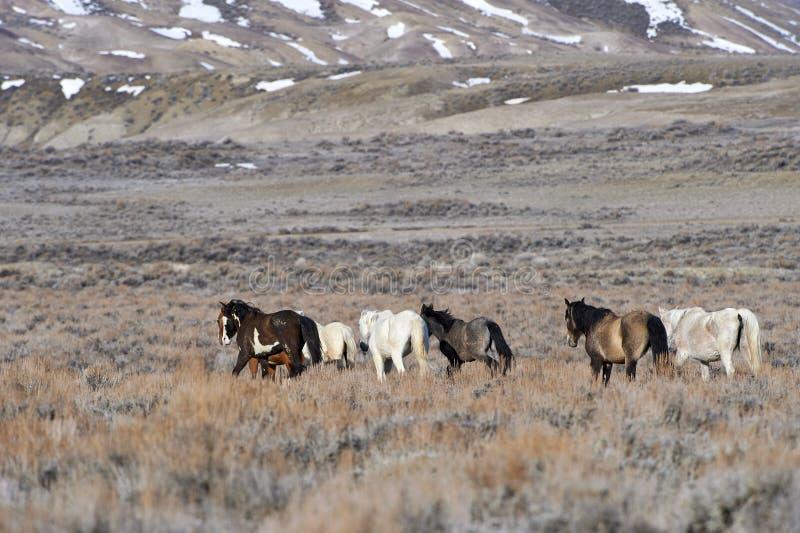 Herde des wilden Pferds stockbild