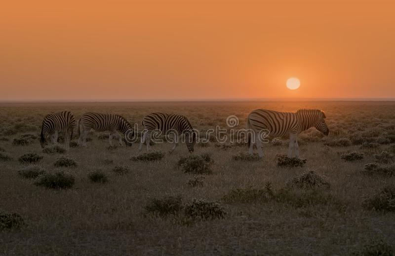 Herde des Zebras vor orange Sonnenaufgang stockfotos