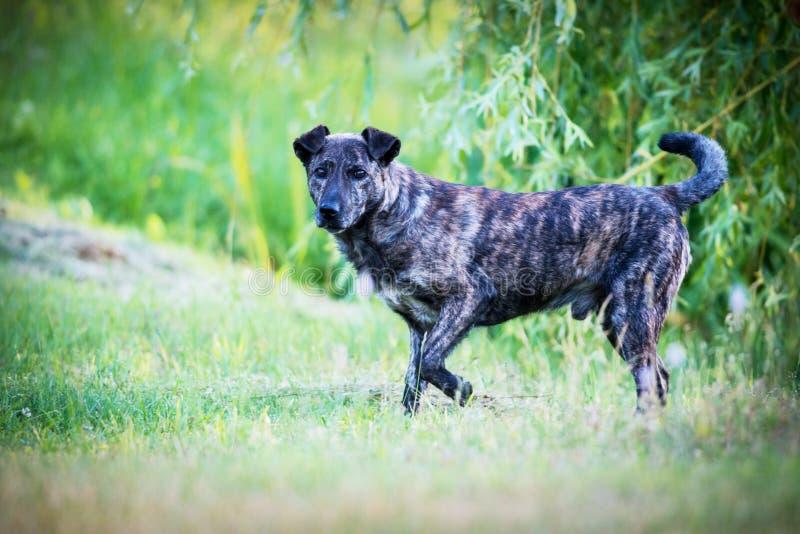 herde för collie för Belgien kantavel blandad hund royaltyfri foto