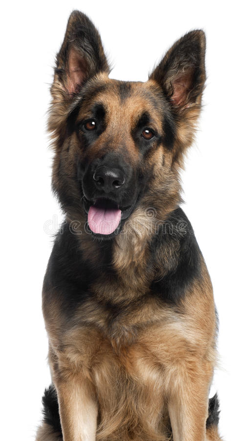 herde för hund för close 2 tysk gammal upp år arkivfoton