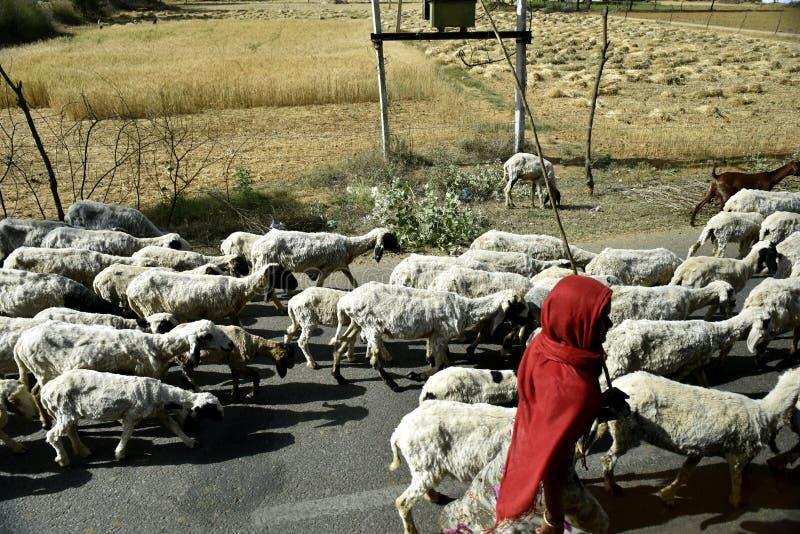 Herde With Sheep fotografering för bildbyråer