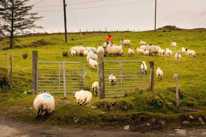 Herde som samlar en flock av sheeps ireland royaltyfria bilder