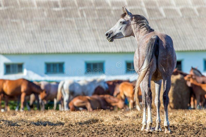 Herde von arabischen Pferden in der Koppel lizenzfreie stockfotografie