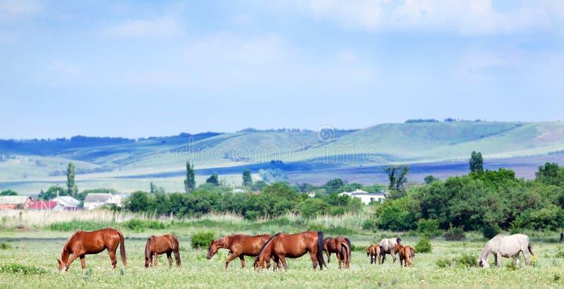 Herde von arabischen Pferden an der Weide stockfotografie