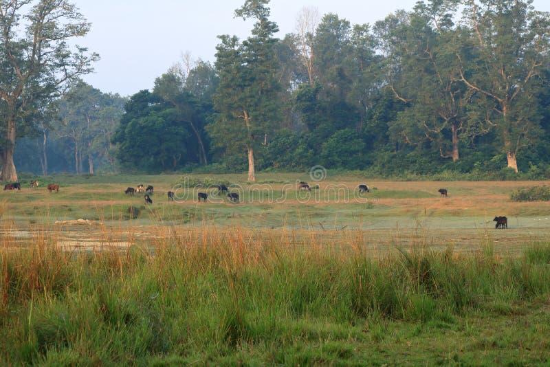 Herde von Büffeln in der Landseite in Nepal stockfotos