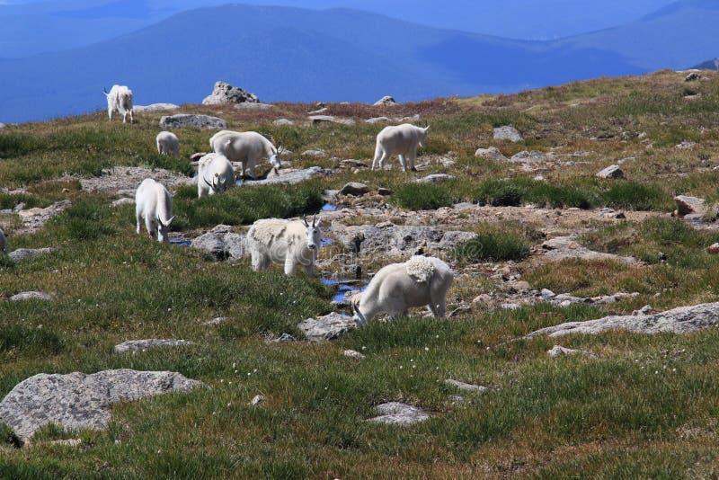 Herde von Big Horn-Schafen stockfoto