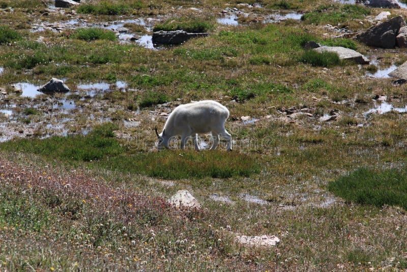 Herde von Big Horn-Schafen stockbilder