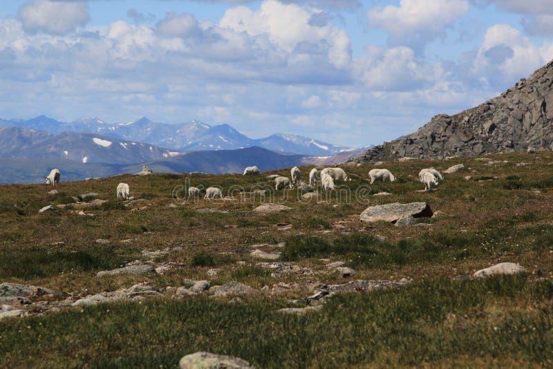 Herde von Big Horn-Schafen stockfotos