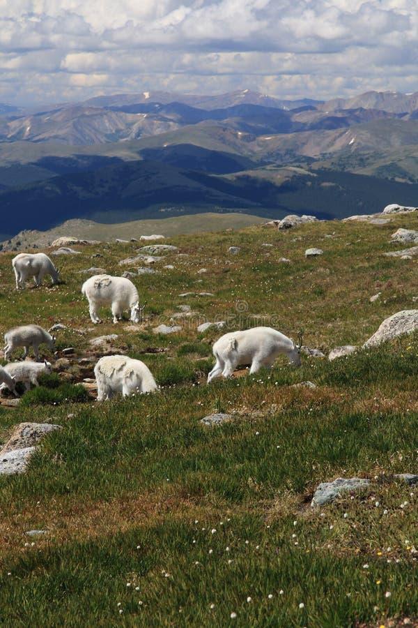 Herde von Big Horn-Schafen lizenzfreie stockfotografie