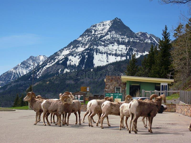 Herde von Bighorn-Schafen, Ovis canadensis, in der alten Besucher-Mitte, Waterton Seen Nationalpark, Alberta lizenzfreie stockfotografie