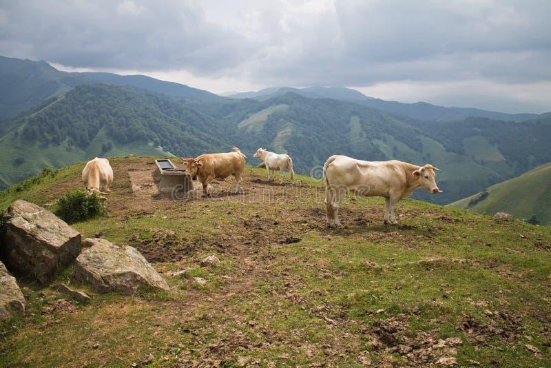 Herde von braunen beige Kühen in den schönen Bergen von irati stockfotos