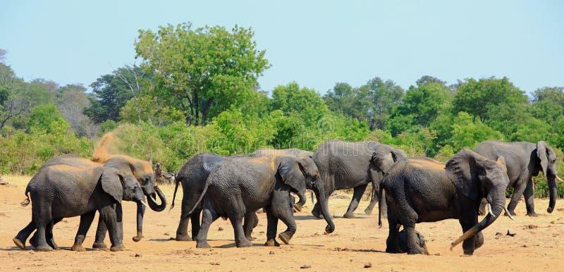 Herde von den Elefanten, die auf den trockenen staubigen afrikanischen Ebenen in Nationalpark Hwange, Simbabwe abwischend stehen stockbilder