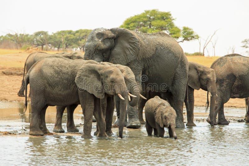 Herde von den Elefanten, die in einem flachen waterhole in Nationalpark Hwange stehen lizenzfreie stockfotografie