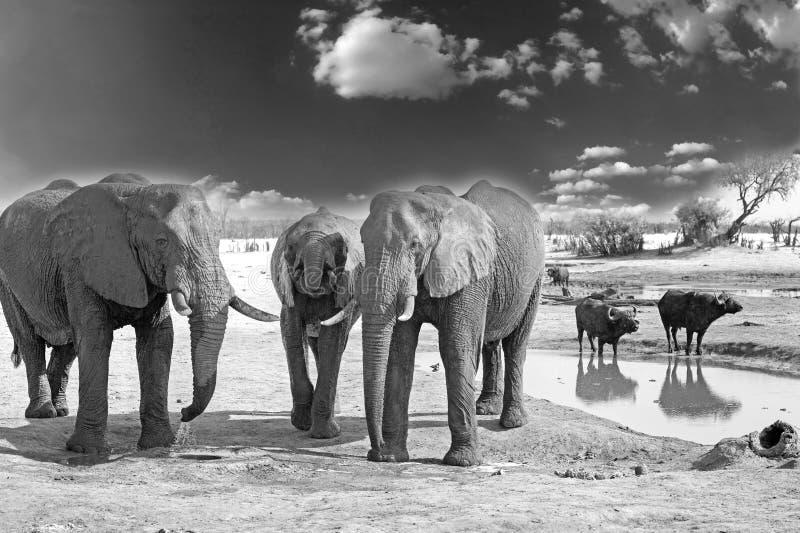 Herde von den Elefanten, die mit Büffel an einem waterhole im Hintergrund stehen lizenzfreies stockbild