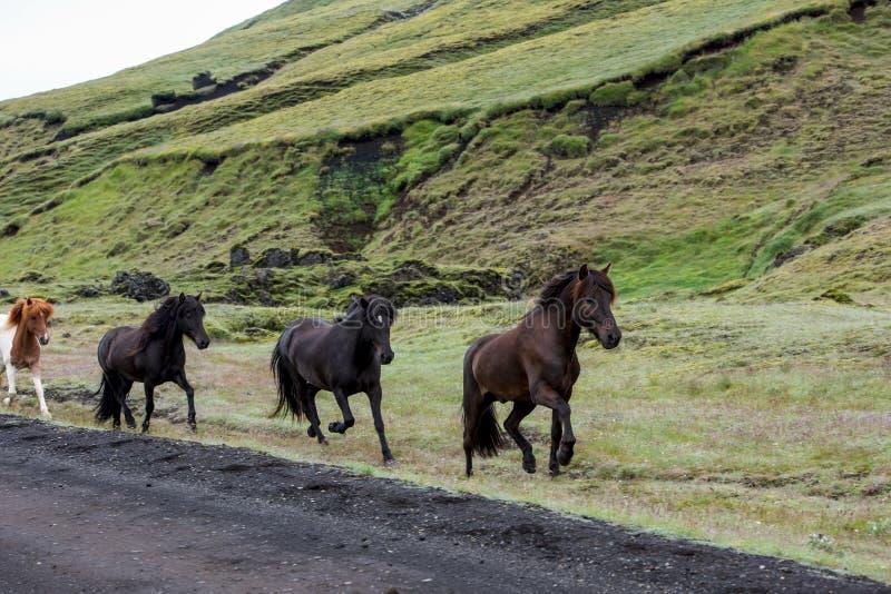 Herde von den isländischen Pferden, die entlang die Straße laufen stockfoto