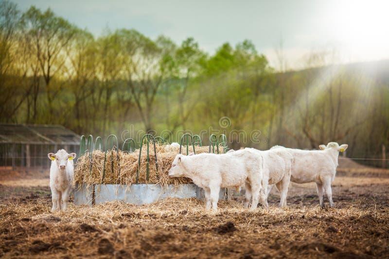 Herde von den jungen Kälbern, die bei Sonnenuntergang essen lizenzfreies stockfoto