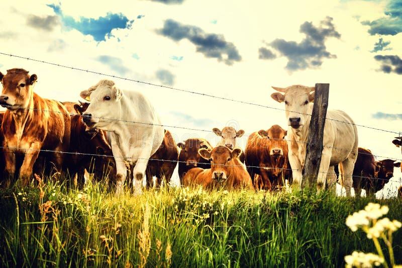 Herde von den jungen Kälbern, die Kamera auf Sommergrünfeld betrachten stockfotos