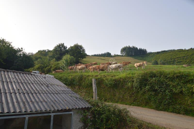 Herde von den Kühen, die auf einer Wiese auf dem Berg in Rebedul weiden lassen Natur, Tiere, Landschaften, Reise stockbild