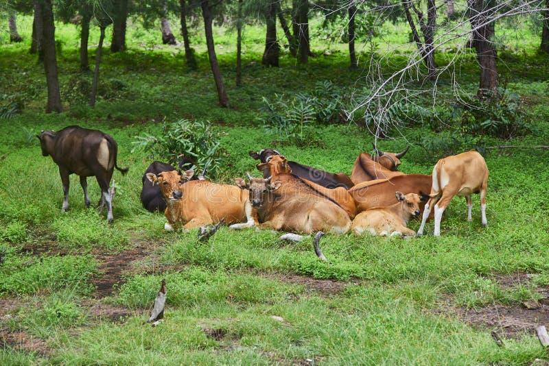 Herde von den Kühen, die in der Wiese stillstehen stockfotos