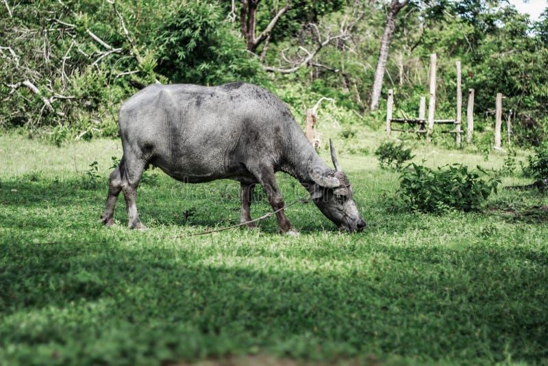 Herde von den Kerabaus, die im Bauernhof weiden lassen lizenzfreies stockbild