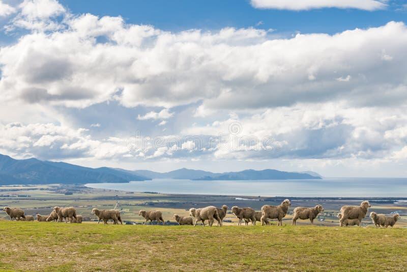 Herde von den Merinoschafen, die auf Hügel über Meer mit blauem Himmel weiden lassen stockfoto