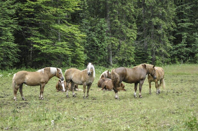 Herde von den Pferden, die auf eine Wiese einziehen stockfoto