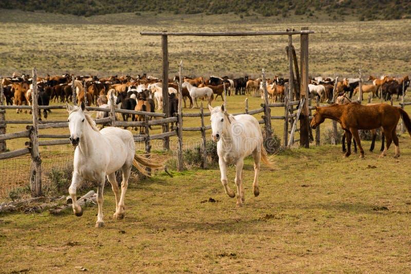 Herde von den Pferden, die bis zur Hürde gerundet werden stockfoto