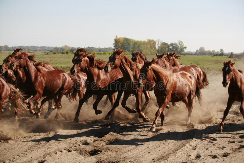 Herde von den Pferden, die durch die Wüstensommerzeit laufen stockbild