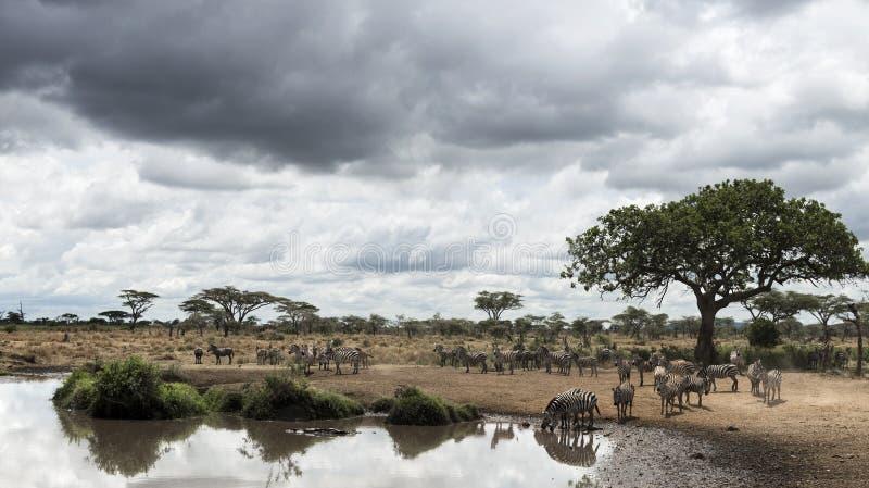 Herde von den Zebras, die durch einen Fluss, Serengeti, Tansania stillstehen lizenzfreies stockbild