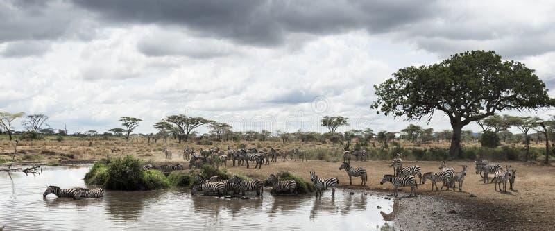 Herde von den Zebras, die durch einen Fluss, Serengeti, Tansania stillstehen lizenzfreies stockfoto