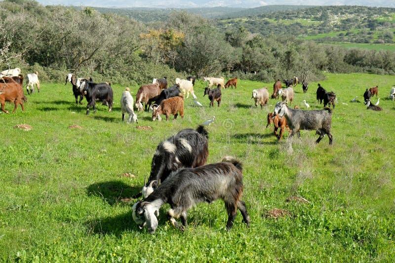 Herde von den Ziegen, die auf den Hügeln in Judea weiden lassen lizenzfreies stockfoto