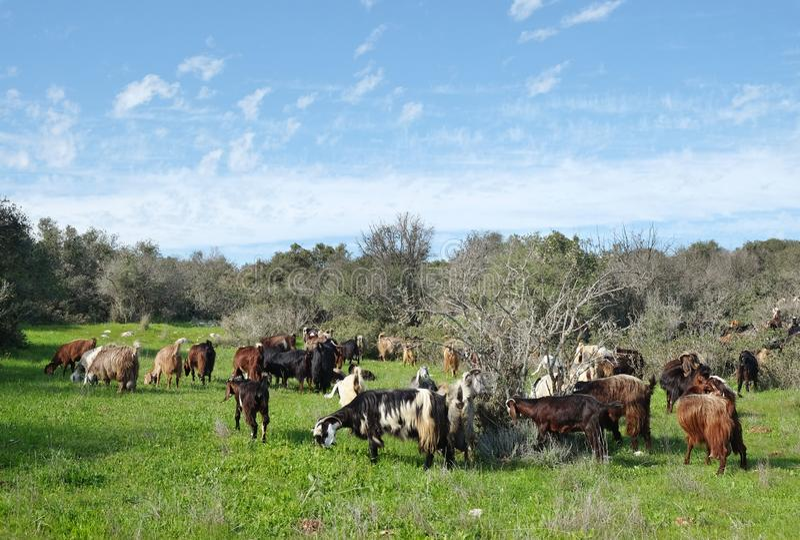 Herde von den Ziegen, die auf den Hügeln in Judea weiden lassen lizenzfreie stockbilder