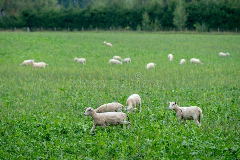 Herde von eben weißen Schafen des Schnittes auf einem grünen Gebiet stockfoto