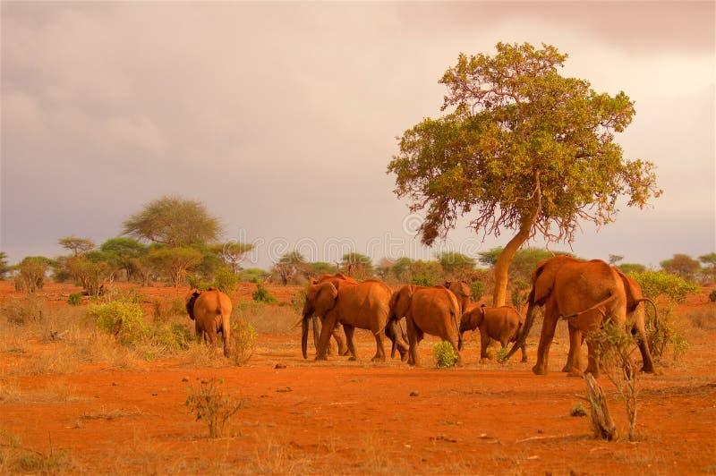 Herde von Elefanten in Afrika am Abend lizenzfreie stockbilder