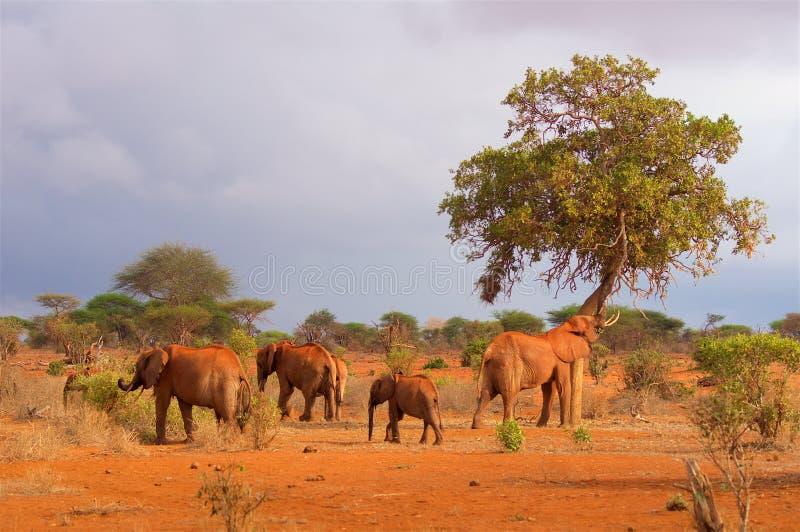 Herde von Elefanten in Afrika am Abend lizenzfreie stockfotografie