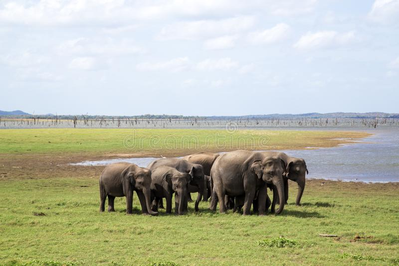 Herde von Elefanten in Nationalpark Kaudulla, Sri Lanka lizenzfreies stockfoto