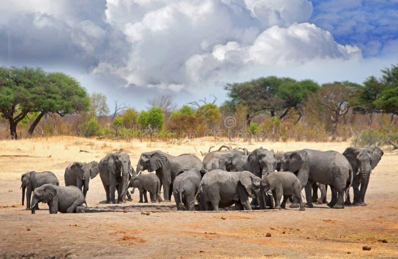 Herde von Elefanten versammeln sich um ein waterhole in Nationalpark Hwange, Simbabwe, südlicher Afrika lizenzfreies stockbild
