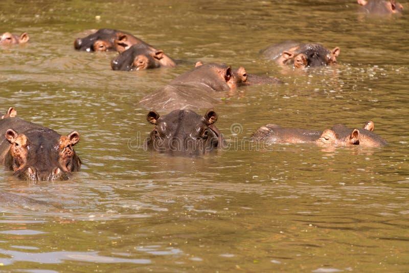 Herde von Flusspferden lizenzfreie stockbilder
