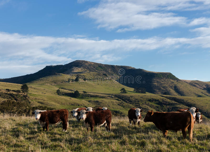 Herde von Hereford-Ochsen auf Sommerweide lizenzfreies stockfoto