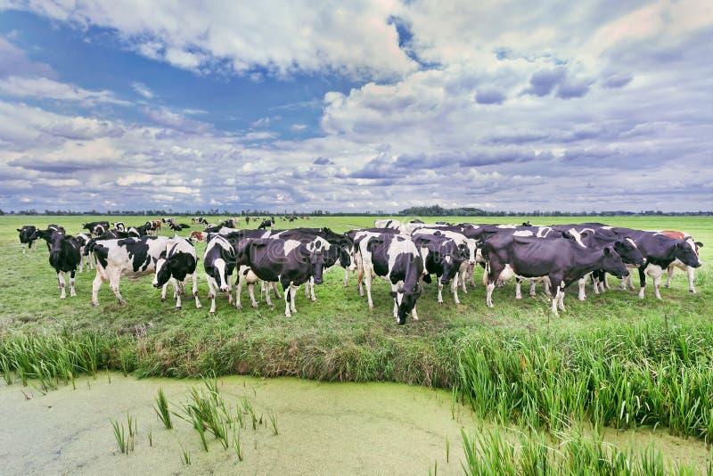 Herde von Kühen in einer beträchtlichen Wiese gegen einen blauen Himmel mit drastischen Wolken, die Niederlande lizenzfreies stockfoto