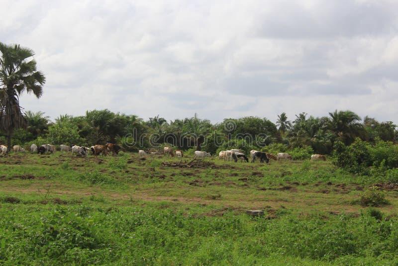 Herde von Kühen in Nigeria stockfoto