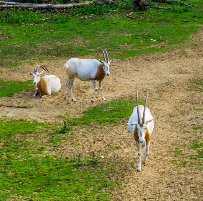 Herde von Krummsäbel Oryxes in einer Weide, Tierspecie, der im wilden ausgestorben ist stockbilder
