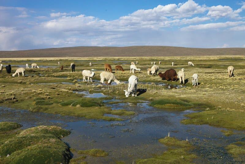 Herde von Lamas altiplano in Peru stockbilder