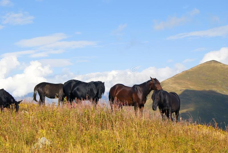 Herde von Pferden auf dem freien Weiden lassen in den Bergen lizenzfreies stockfoto
