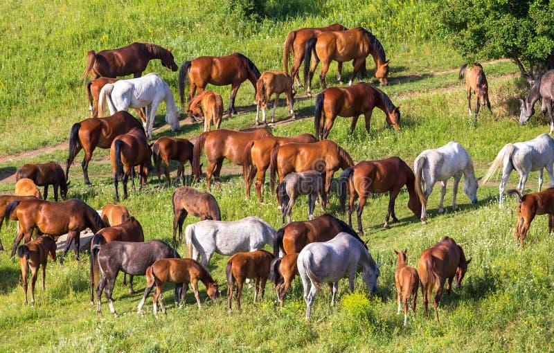 Herde von Pferden auf dem Gebiet lizenzfreie stockbilder