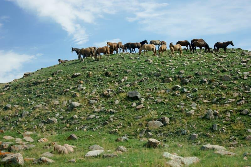 Herde von Pferden auf einem Hügel stockfotos